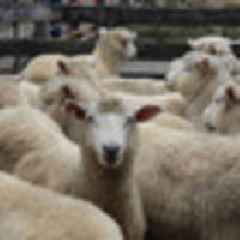 World's first human-sheep hybrids pave way cure for diabetes, organ transplants