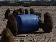 Baboons use 55 gallon barrel to escape from a biomedical research facility in Texas