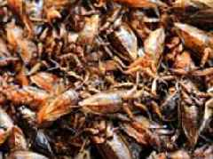 Chinese firm reveals how AI is helping breed 6 BILLION cockroaches every year for use in medicine