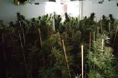 Enormous cannabis farm discovered on residential street