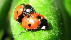 UK Homes Are Getting Invaded... by Killer Ladybugs?