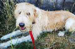 Rescue dog 'brought to Lincolnshire from Spain for a better life' goes missing