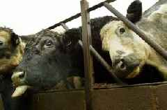 Mad cow disease confirmed at Scottish farm