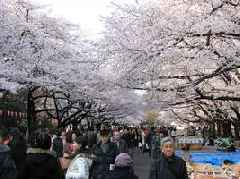 Japan's Famous Cherry Blossoms Come Months Early After Bouts Of Severe Weather