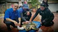 Watch: Amputee Sea Turtles Swim With New Prosthetic Flippers