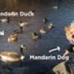 Video: We Visited The Mandarin Duck With The Mandarin Dog