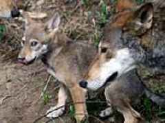 DNA of wolf declared extinct in wild lives on in Texas...