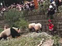 Girl is rescued after falling six feet into a panda enclosure while sitting on a fence
