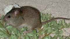 Bramble Cay melomys: Climate change-ravaged rodent listed as extinct