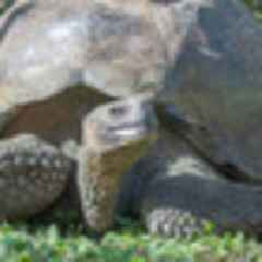 Giant tortoise species thought to have been hunted to extinction by humans more than 100 years ago found alive in the Galapagos
