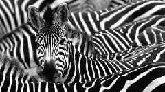 Do Zebra Stripes Deter Flies? Scientists Dressed Up Horses as Zebras to Find Out