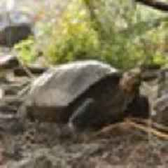 'Extinct' Giant Galapagos Tortoise discovered 100 years after last sighting on Fernandina