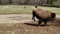 Watch: 800-Pound Bison Does Crazy 'Happy Dance' on First Day of Spring