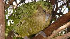 Endangered Kakapo, World's Fattest Parrot, Has Record Breeding Season