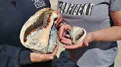 Seashell Hunter Hits 'Jackpot,' Finds Giant Shell at North Carolina Park