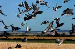 Shooting pigeons is banned as Natural England backs down to Chris Packham's legal challenge