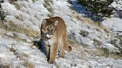 Colorado Hunter Fights Off Mountain Lion With Pocket Knife