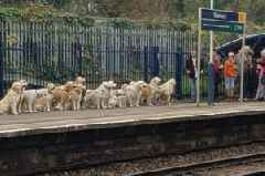 Golden Retrievers queuing up for a train leave commuters baffled