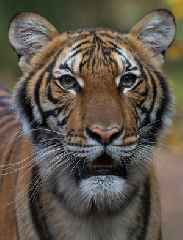 Bronx Zoo Tiger Diagnosed With Coronavirus After Developing Dry Cough
