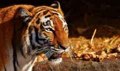 Coronavirus: New York zoo tiger tests positive for COVID-19