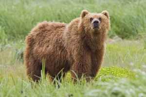 Bear: Family of mammals