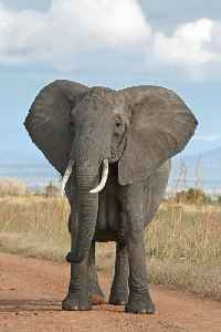 Elephant: Large terrestrial mammals with trunks from Africa and Asia