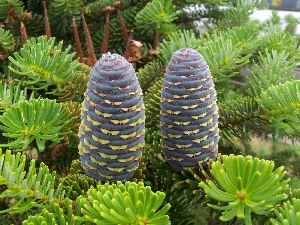 Fir: Genus of plants in the conifer family Pinaceae