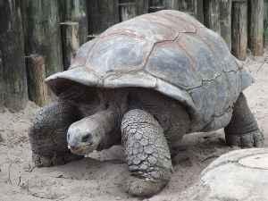 Giant tortoise: