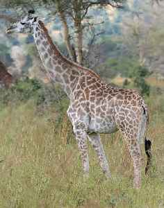 Giraffe: Tall African ungulate