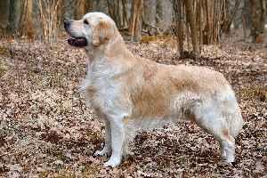 Golden Retriever: Dog breed