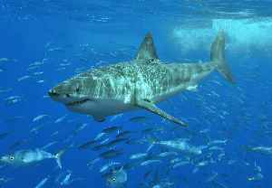 Great white shark: Species of large lamniform shark