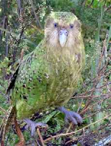 Kakapo: A large flightless nocturnal parrot endemic to New Zealand
