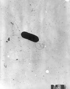 Listeria: Genus of bacteria