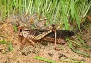 Locust: Swarming grasshoppers