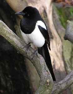 Magpie: Large bird in the crow family