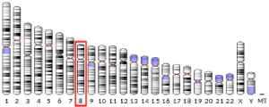 Microcephalin: Protein-coding gene in the species Homo sapiens