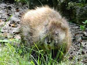 Muskrat: Species of rodent