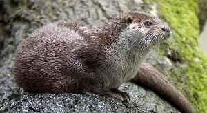 Otter: Subfamily of mammals