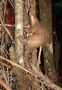 Pangolin: Order of mammals