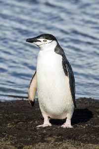 Penguin: Family of birds