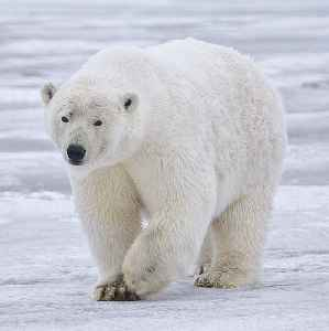 Polar bear: Bear native largely within the Arctic Circle