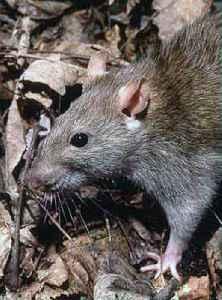 Rat: Several  genera of rodents