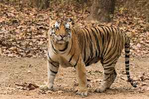 Tiger: Largest species of the cat family