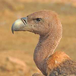 Vulture: Common name for several types of scavenging birds of prey.