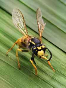 Wasp: Members of the order Hymenoptera which are not ants nor bees (compare Q1065202, Q1076176)