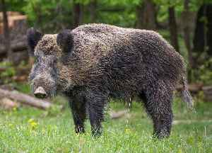 Wild boar: Species of mammal