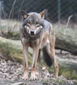 Wolf: Species of mammal (canine)