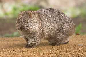Wombat: Short-legged, muscular quadrupedal marsupials native to Australia