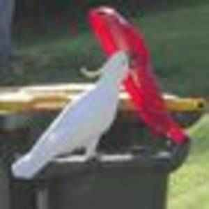 Cockatoos in Sydney work out how to open bin lids by watching others do the trick