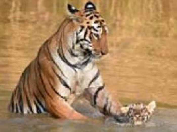 Beautiful pictures show tiger mother dunking her cub - Show me a picture of the tiger ...